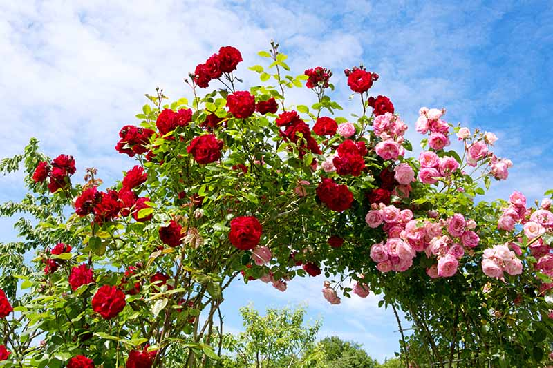 A close up horizontal image of bright pink and red flowers trained to grow over an arbor pictured in bright sunshine on a blue sky background.