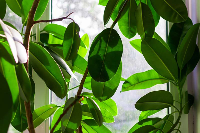 A close up horizontal image of a large Ficus elastica plant growing in a window.