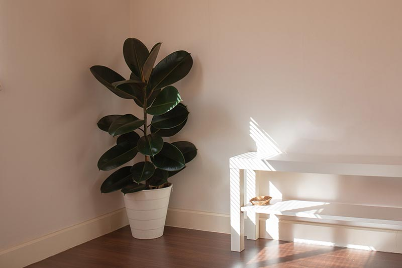 A close up horizontal image of a Ficus elastica rubber plant in a white pot set in the corner of a room with a wooden floor and white walls.