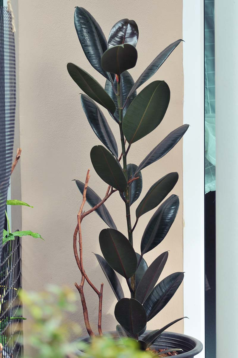 A vertical image of a large rubber tree plant growing indoors in a black plastic pot.