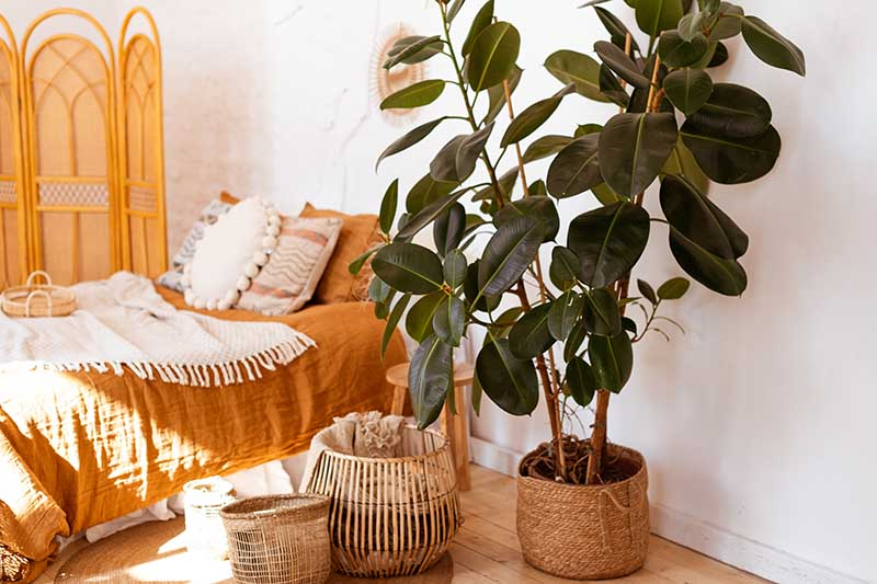 A horizontal image of a bedroom decorated with a large Ficus elastica growing in a wicker pot.