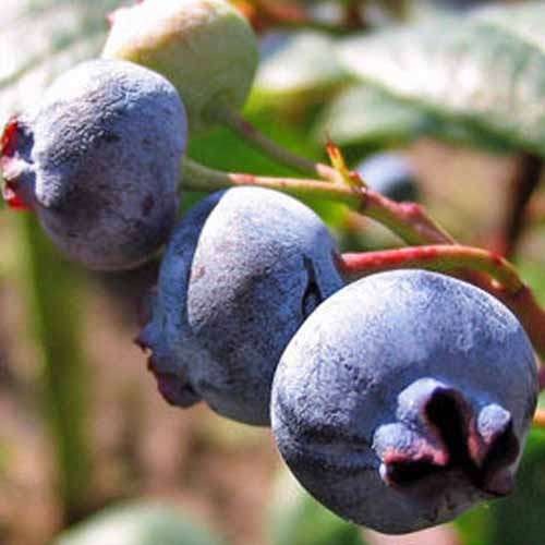A close up square image of Vaccinium 'Rubel' fruits, ripe and ready to harvest, pictured in light sunshine.