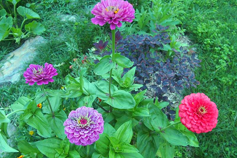 A close up horizontal image of colorful semidouble zinnias growing in a garden border.