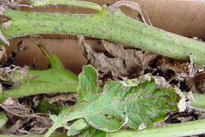 A close up of the stems and foliage of a tomato plant suffering from a fungal disease.