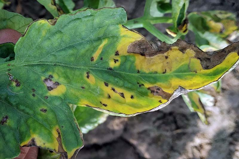 A close up horizontal image of a plant suffering from a disease caused by Septoria lycopersici.