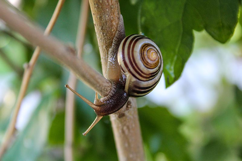 A close up horizontal image of a snail moving along the branch of a shrub pictured on a soft focus background.