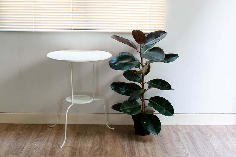 A horizontal image of a small potted Ficus elastica plant set on a wooden floor under a window and next to a small side table.
