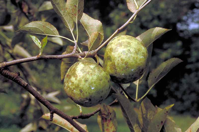 A close up horizontal image of apples growing on the tree suffering from sooty blotch pictured on a soft focus background.
