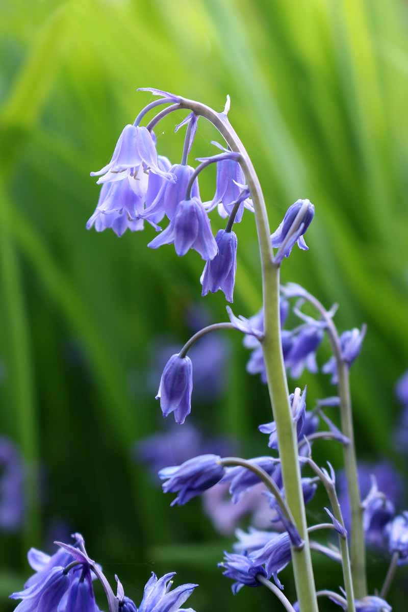 A close up vertical image of the delicate bell-shaped flowers of Hyacinthoides hispanica pictured on a soft focus green background.