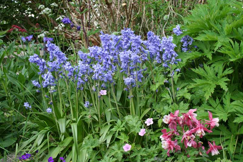 A close up horizontal image of a garden border with flowering Hyacinthoides hispanica aka wood hyacinth flowers blooming among other perennials.