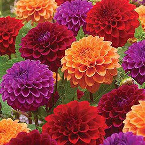 A close up square image of red, orange, and purple Summer Tango dahlias growing in the garden with foliage in soft focus in the background.