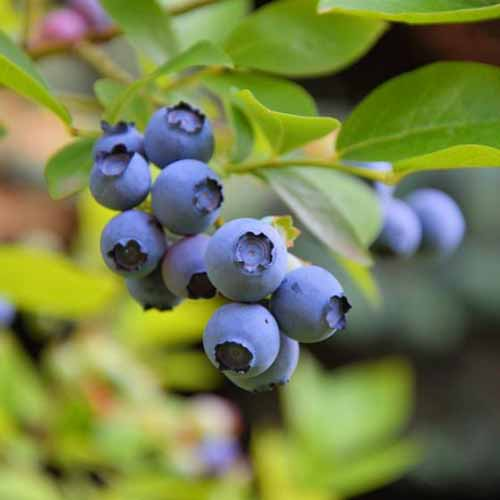 A close up square image of ripe Vaccinium 'Sunshine Blue' pictured on a soft focus background.
