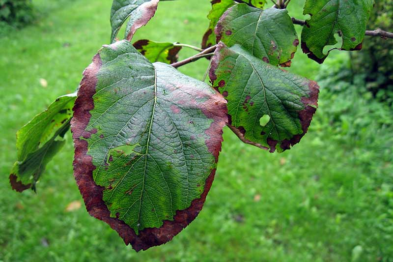 A close up horizontal image of foliage infected with fire blight, a devastating bacterial infection.