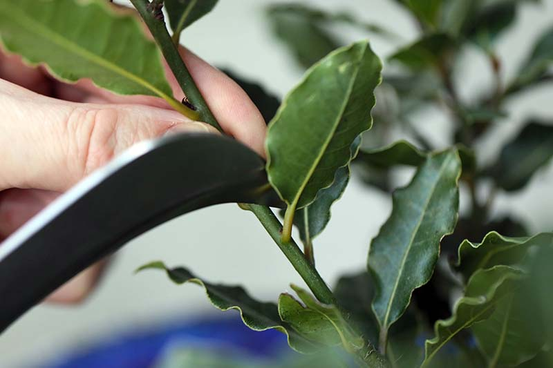 A close up horizontal image of a hand from the left of the frame using a knife to cut through a stem.