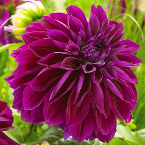 A close up square image of a 'Thomas Edison' dahlia flower, deep purple in color, pictured on a soft focus background.
