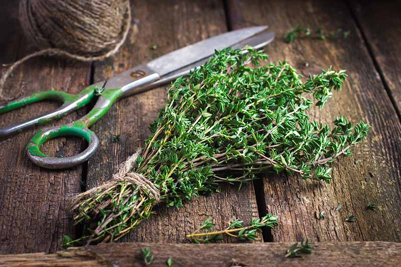 A close up horizontal image of a bunch of fresh thyme tied with string, set on a wooden surface with scissors in the background.
