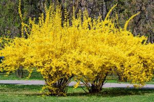 Tips for Growing Weeping Forsythia