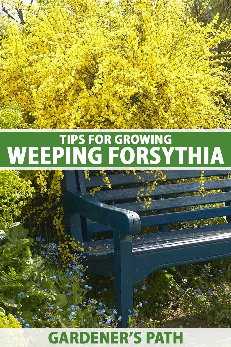 A close up vertical image of a park bench with a large weeping forsythia shrub in full bloom spilling over the backrest. To the center and bottom of the frame is green and white printed text.