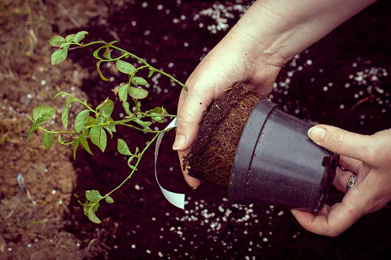 A close up horizontal image of two hands removing a plant from a nursery pot to transplant into the garden.
