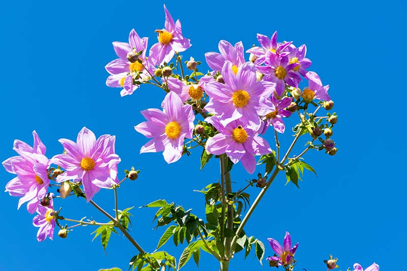 A close up horizontal image of the delicate pink flowers of D. maxonii pictured on a blue sky background.