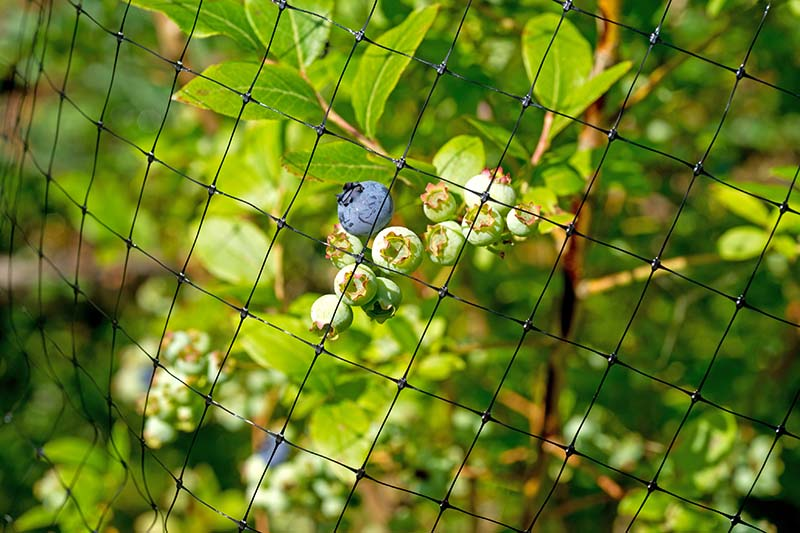 A close up horizontal image of netting placed over shrubs pictured in bright sunshine.