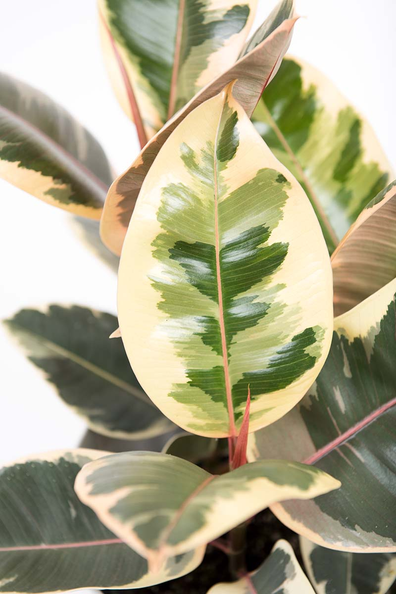 A close up vertical image of the foliage of a variegated Ficus elastica 'Doescheri' picutred on a white background.