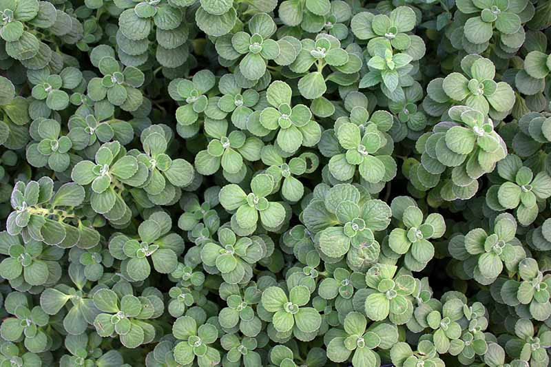 A close up horizontal image of the foliage of the Vicks plant, Plectranthus hadiensis, growing in the garden.