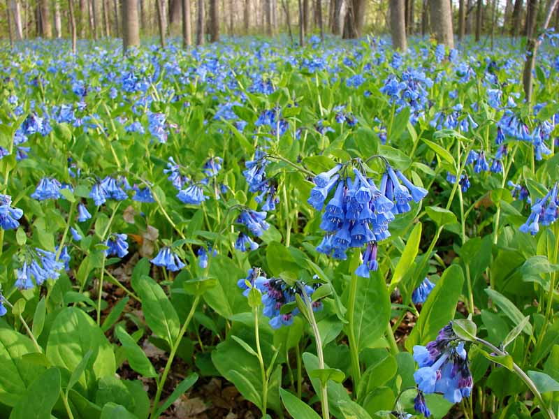 A horizontal image of wild Virginia bluebells growing in a woodland setting.