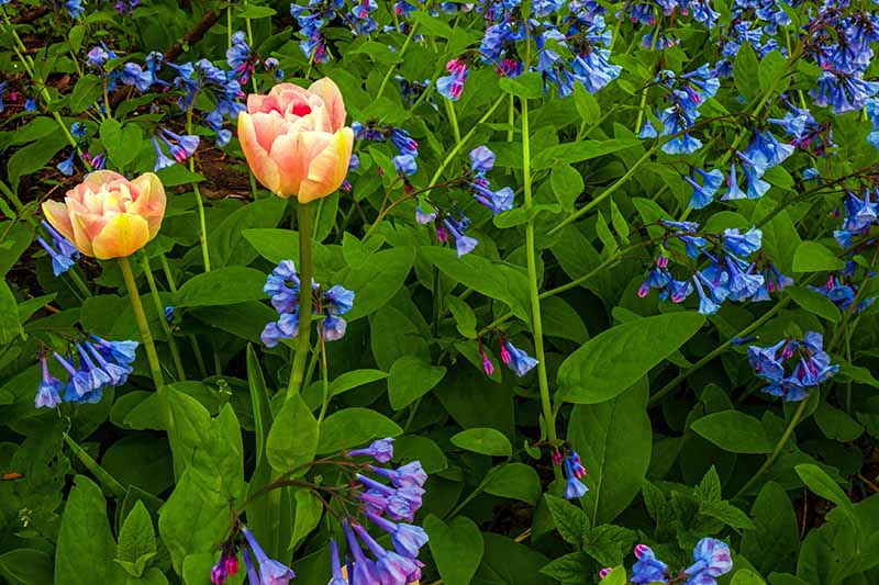 A close up horizontal image of Virginia Bluebell (Mertensia virginica) flowers and tulips blooming in the spring garden.