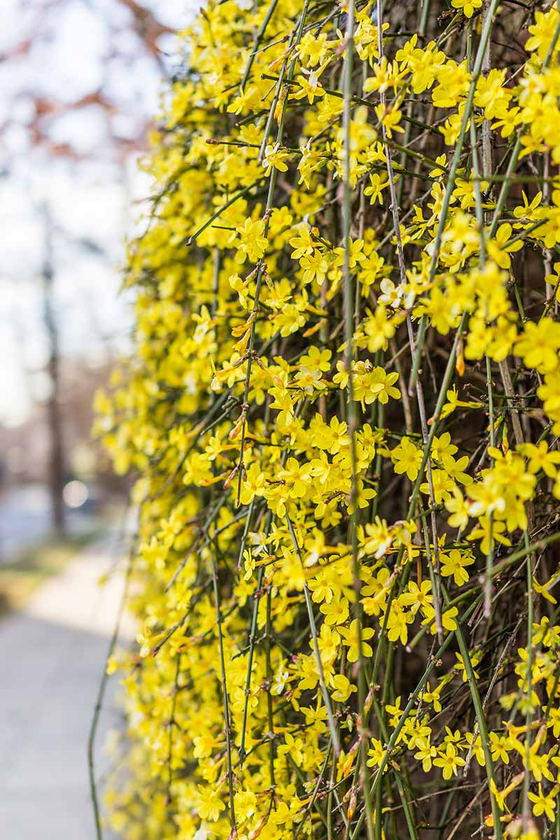 A close up vertical image of branches of weeping forsythia with bright yellow flowers growing as a hedge by the side of a pavement.