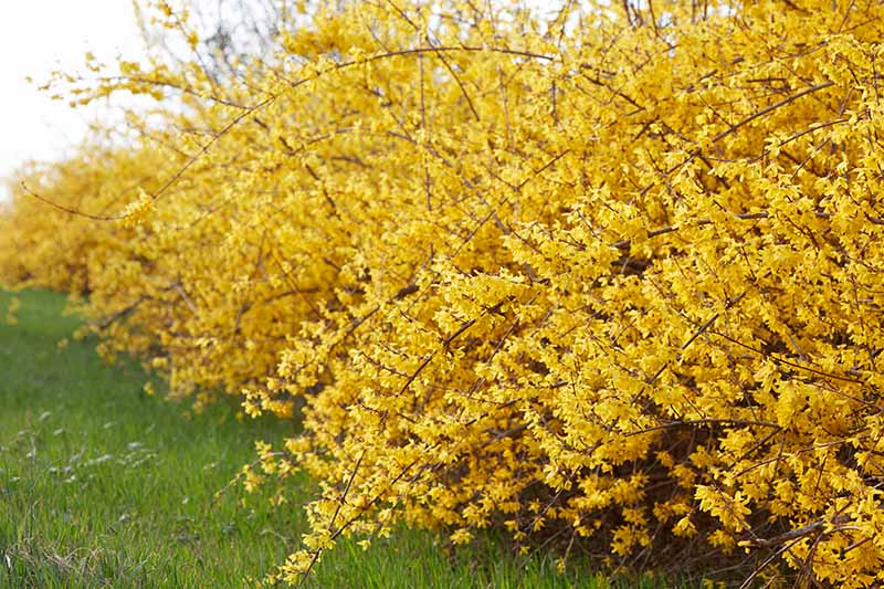 A close up horizontal image of a blooming hedge of weeping forsythia growing in the garden.