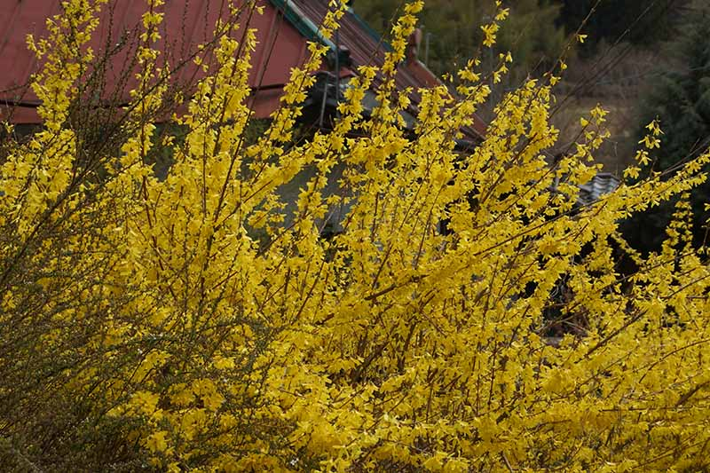A close up horizontal image of bright yellow blossoms adorning a weeping forsythia shrub growing outside a residence.