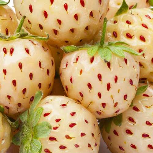 A close up square image of 'White Carolina' strawberries with white flesh and red seeds.