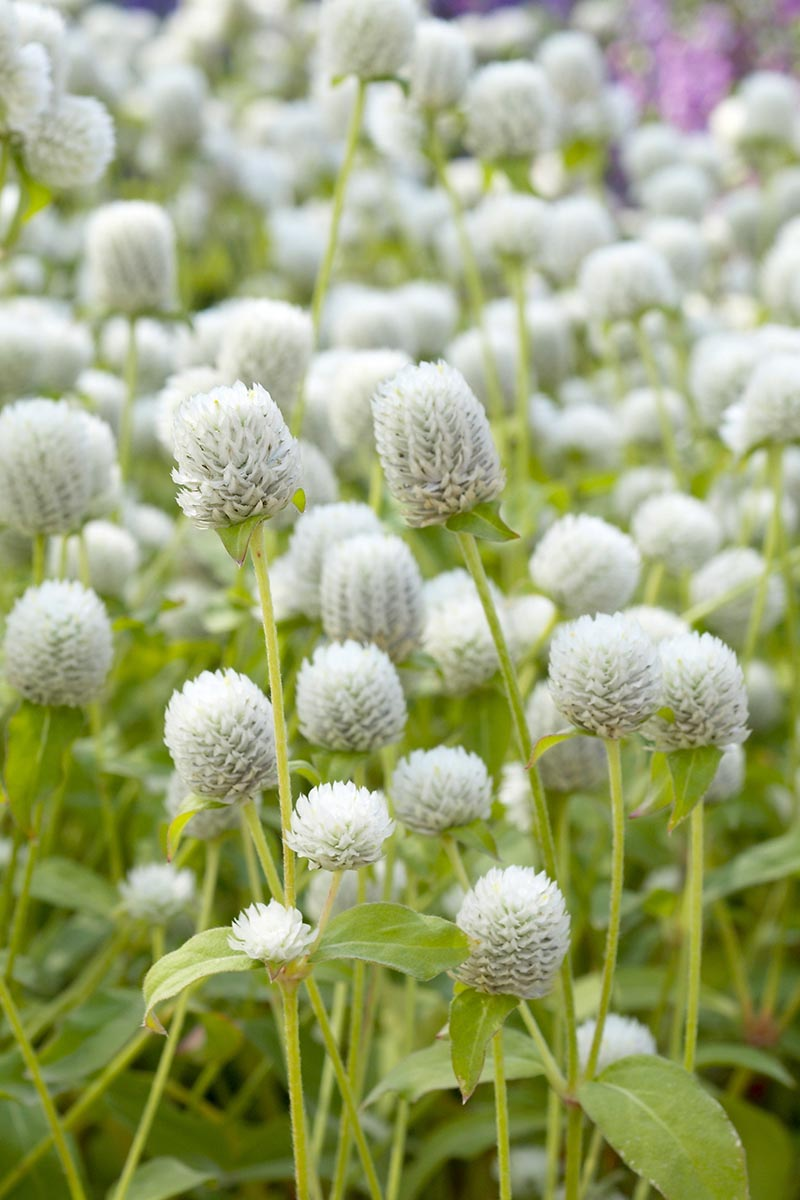 A close up vertical image of a swath of white globe amaranth flowers growing in the garden.