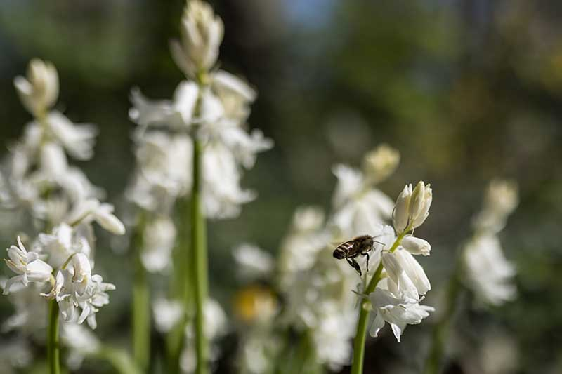 A close up horizontal image of white wood hyacinth flowers with a bee feeding pictured on a soft focus background.