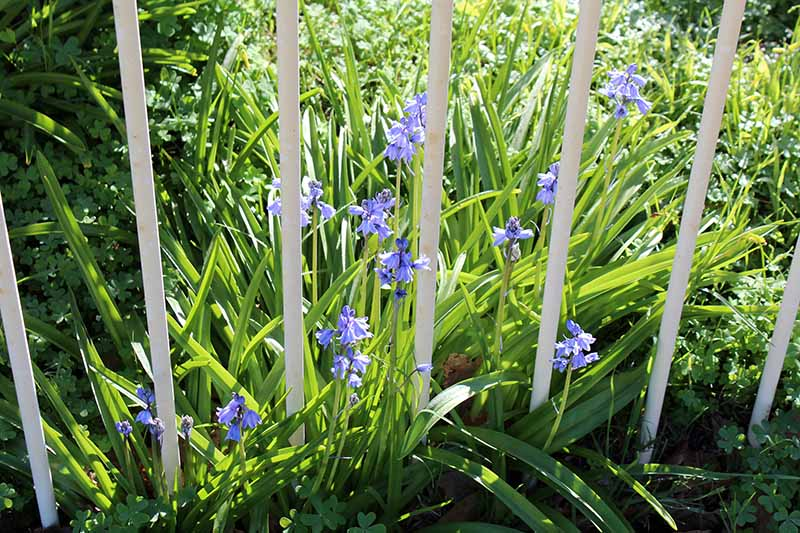 A close up horizontal image of wood hyacinth flowers (Hyacinthoides hispanica) growing by a white metal fence pictured in light sunshine.