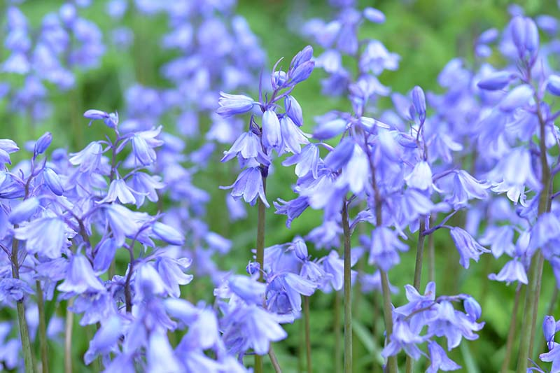 A close up horizontal image of bright blue bell-shaped flowers of Hyacinthoides hispanica pictured on a soft focus background.