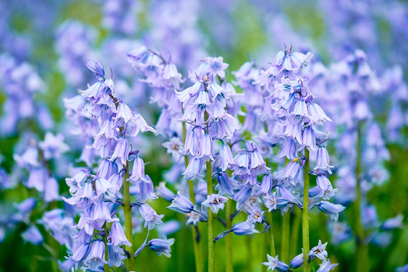 A close up horizontal image of wood hyacinth flowers growing in the garden pictured on a soft focus background.
