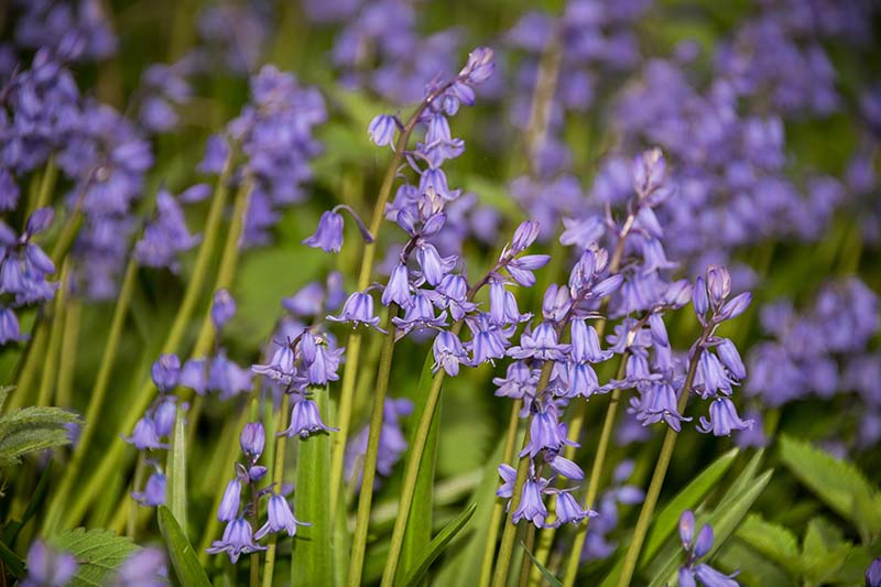 A close up horizontal image of wood hyacinth flowers growing in the garden.