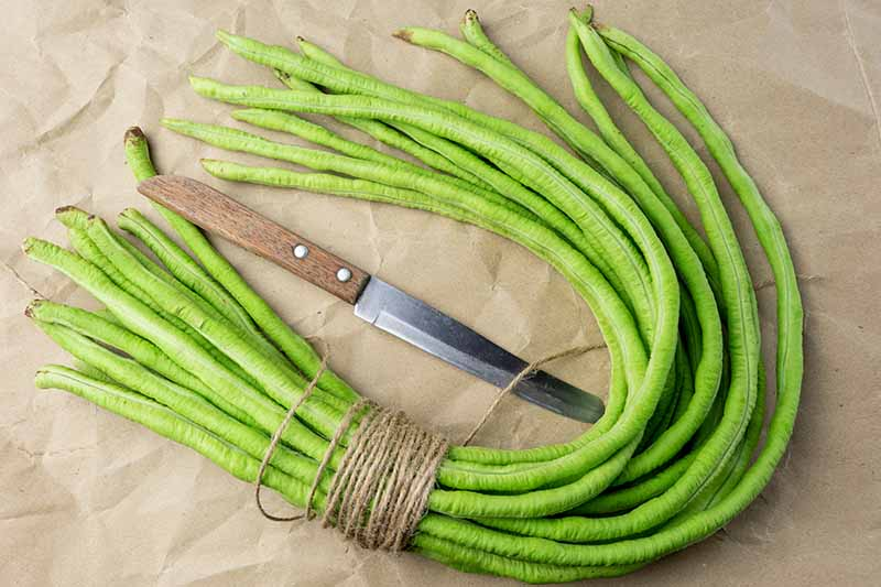 A close up horizontal image of a bundle of freshly harvested yard long beans set on a brown paper surface with a knife to the center of the frame.