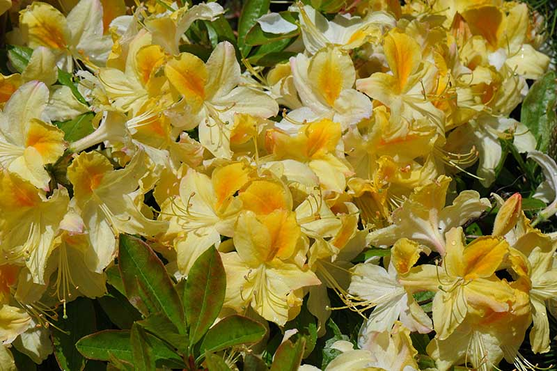 A close up horizontal image of yellow Northern Lights flowers growing in the garden pictured in bright sunshine.