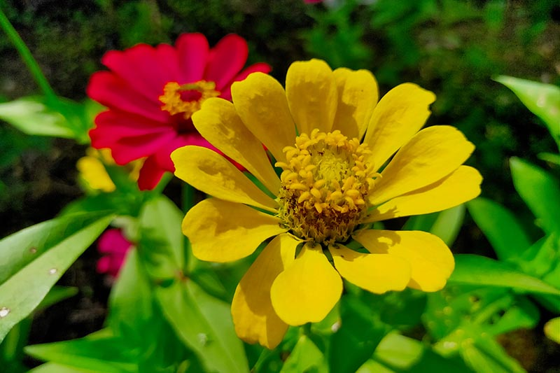 A close up horizontal image of a yellow flower growing in the garden pictured in bright sunshine with a red flower in soft focus in the background.