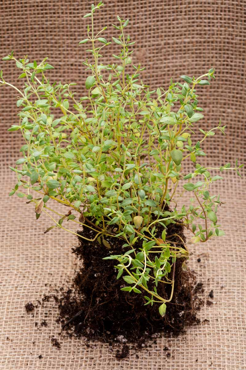 A close up vertical image of a small Thymus vulgaris plant ready to be transplanted into the garden pictured on a burlap fabric.