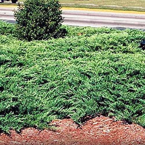 A close up square image of Youngstown juniper growing as ground cover growing by the side of a road.