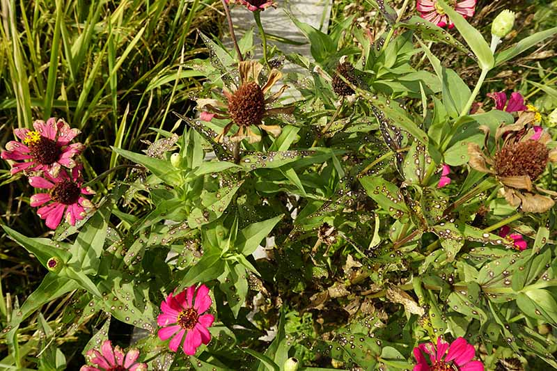 A close up horizontal image of a clump of zinnias infected with Alternaria fungi causing spots on the foliage and dying blooms.