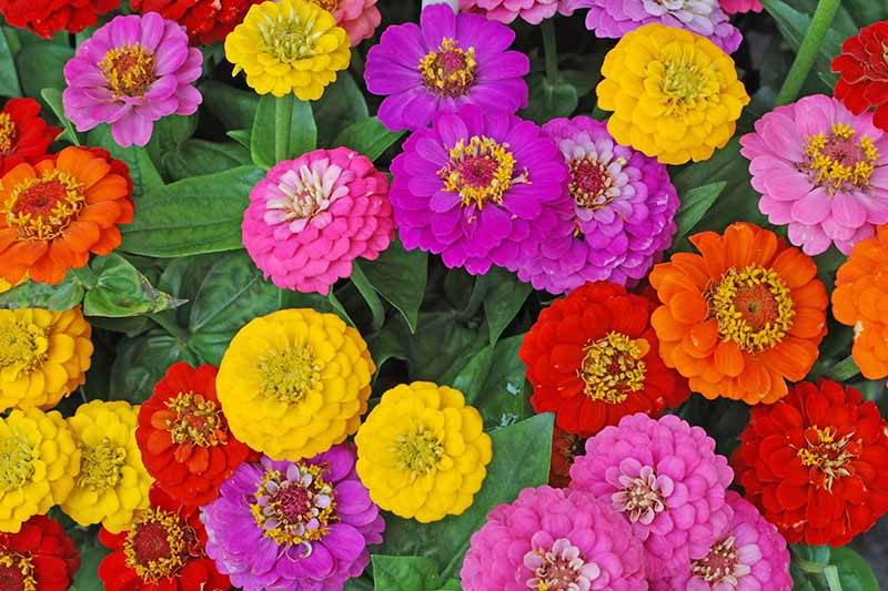 A close up horizontal image of colorful annual flowers growing en masse in the summer garden.
