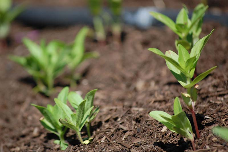 A close up horizontal image of rows of seedlings planted out in the garden in spring.