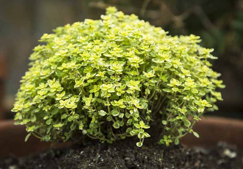 A close up horizontal image of a small Thymus citriodorus plant growing in a terra cotta pot pictured on a soft focus background.