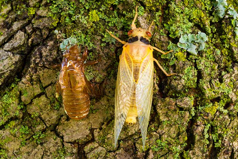 A close up horizontal image of a teneral adult seventeen-year cicada, newly molted, resting on a tree next to a shell.