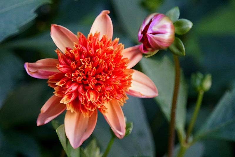 A close up horizontal image of an orange anemone flowered dahlia pictured on a soft focus background.